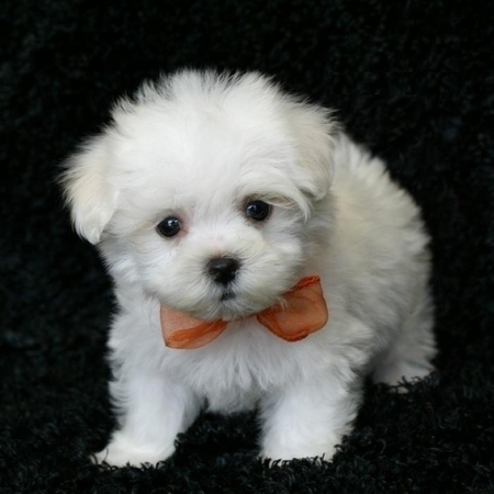Cambio Regalo Bichon Maltes Mini Toy Hembra Y Macho Por Regalo Bichon Maltes Mini Toy Hembra Y Macho Madrid